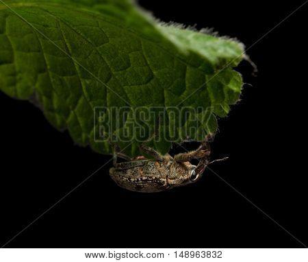 Beetle Handing On Leaf