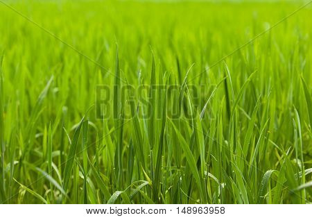 Cereal Grass Field