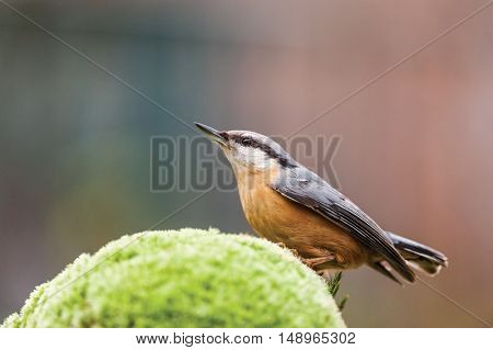 nuthatch on moss close up