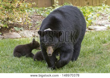 A mama black bear walks on a lawn as her three cubs attempt to nurse on a sunny spring day