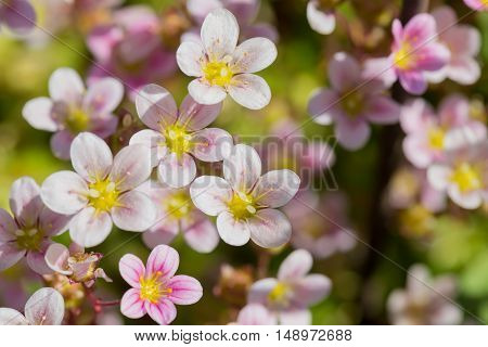 Closeup shot of small pink flowers. Shallow depth of field
