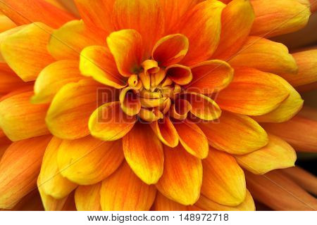 Portrait of dahlia. Macro photography of nature.