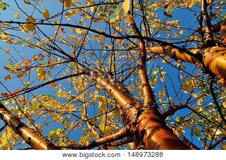 Autumn sunny landscape. Bird cherry tree - in Latin Prunus maackii also Padus maackii - against blue sky under autumn sunshine. Autumn tree with yellowed autumn leaves. Autumn landscape sunny view