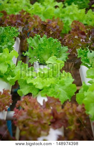 Green hydroponic organic salad vegetable in farm Thailand. Selective focus