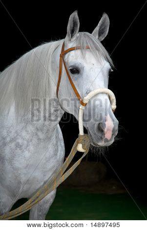 grey orlov trotter horse