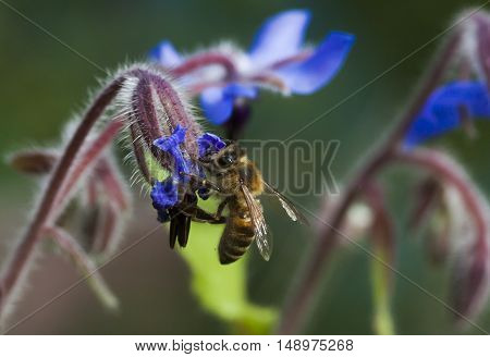 a honeybee pollinating a blue starflower by eating nectar