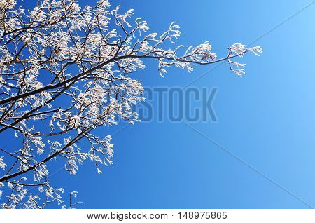 Winter nature. Winter frosty tree branches of the winter tree against blue sunny sky. Winter background with free space for text. Closeup view of winter nature. Winter tree branch in sunny weather