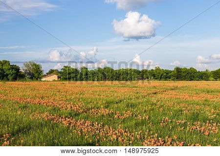 Wildflower - Indian Paintbrush Field And Farmland.