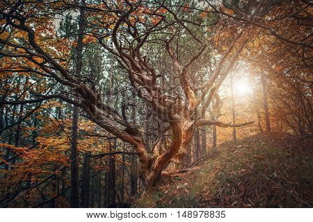 Old curved tree on autumn forest glade