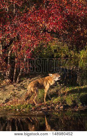 Coyote (Canis latrans) Howls on Shoreline - captive animal