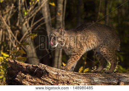 Bobcat (Lynx rufus) Licks Nose - captive animal