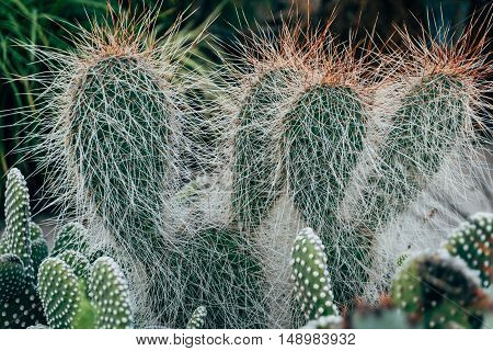 Cactus Texture natural background. Flat leaves of green and yellow cactus with needles pattern.