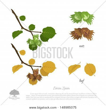 Filbert branch in summer and autumn. Nuts and hazelnut leaves. Vector illustration