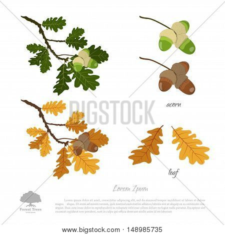 Oak branch in summer and autumn. Oak leaves and acorns. Vector illustration