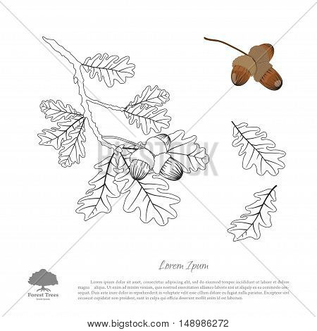 Outline drawing of oak branches on a white background. Oak leaves and acorns. Vector illustration
