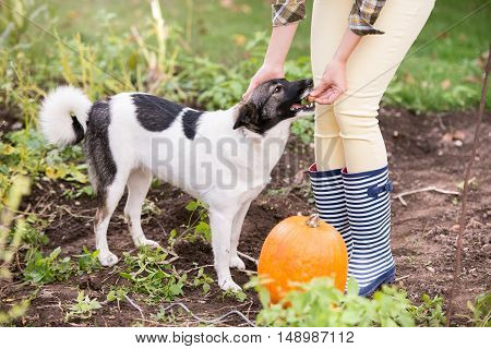 Unrecognizable woman in checked shirt with her dog working in garden harvesting pumpkins. Autumn nature.