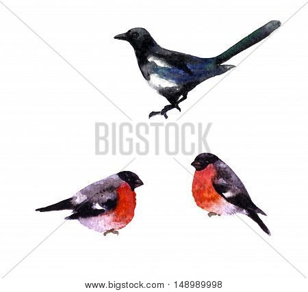 Hand drawn birds set. Magpie and two bullfinches isolated on white. Watercolor sketch.
