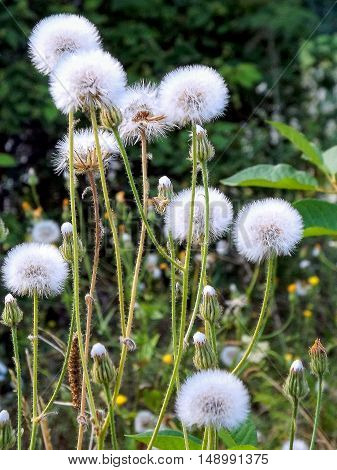 Dandelions after a bright bloom. After flowering dandelions acquire a completely different color, and kind ..