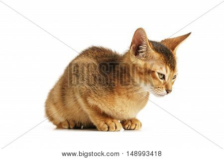 wild color abyssinian kitten 3 month sitting on white background, isolated