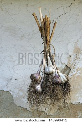 Bunch of garlic on a background of the old house wall