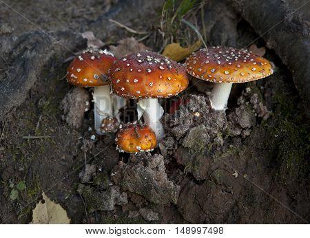 Mushroom in the autumn forest, poisonous mushrooms.