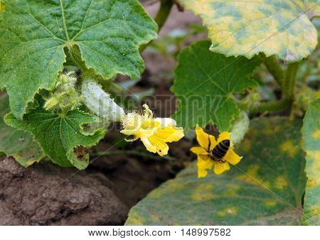 The tiny cucumbers with flowers on the plant growing in a garden shallow depth of field