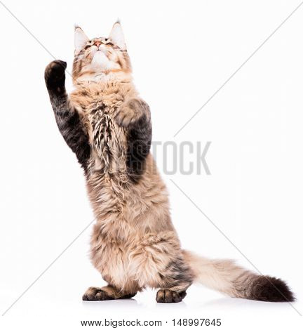 Domestic black tabby Maine Coon kitten - 5 months old. Curious young striped kitty standing up on hind legs with front paws up to bat and play. Funny playful cat, isolated on white background.