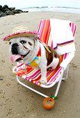 Bulldog in a beach chair