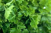 stock photo of italian parsley  - Macro view of fresh green parsley leaves - JPG
