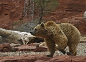 foto of grizzly bears  - grizzly bear pacing in his compound