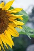 Постер, плакат: Sunflowers In Bloom Bright Yellow Flower Outdoors In Field Harvest Of Sunflowers First Phase Of P