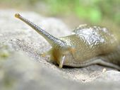 image of inchworm  - close up of the head of a slug and its antennas or antlers or eyeballs - JPG