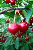 foto of titillation  - classical double cherry shot - JPG