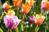 Постер, плакат: Весенние тюльпаны Канова Sp