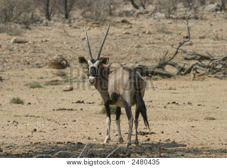 Antílope Oryx masculino