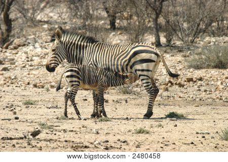 Familia de cebra