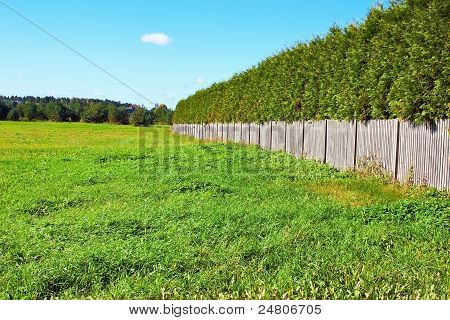 Thuja Wall In Field