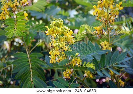 American Senna senna Hebecarpa Blooms