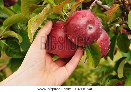 Hand Picking An Apple