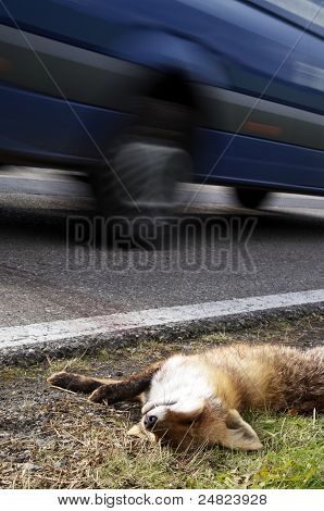 Fox Roadkill With Car
