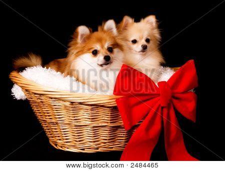Pomeranian Present