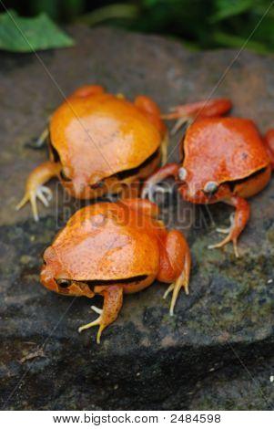 Fake Tomato Frogs