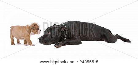 Cachorro y perro