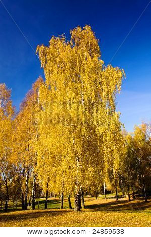 Birch (autumn)