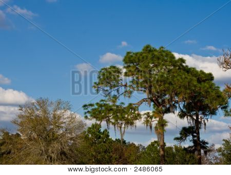 Pines Above Tropical Forest