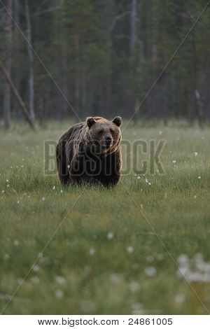 Brown Bear at Forest Background
