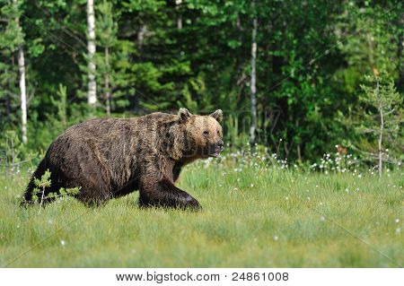 Bear Walking in a sunny summer evening