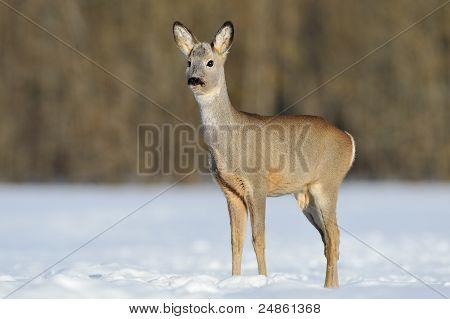 Young Roebuck