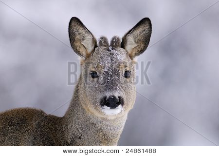 Roebuck Portrait in a Winter Background