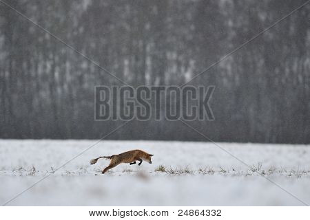 Sarcoptic Mange In Red Fox